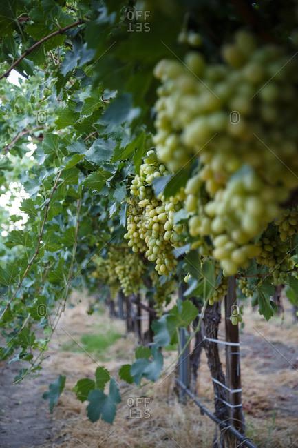 Grapes at a Bakersfield vineyard, California