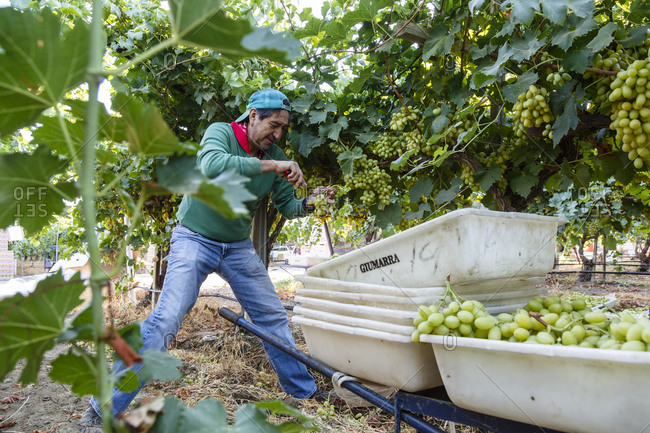 Bakersfield, California, USA - August 15, 2014: Worker harvesting seedless grapes at a vineyard