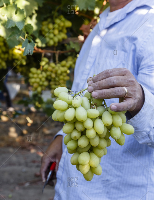 Close up of man holding a cluster of seedless grapes