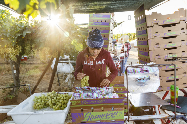Bakersfield, California, USA - August 15, 2014: Young woman packaging grapes