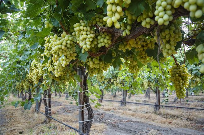 Ripe bunches of grapes at a vineyard, California
