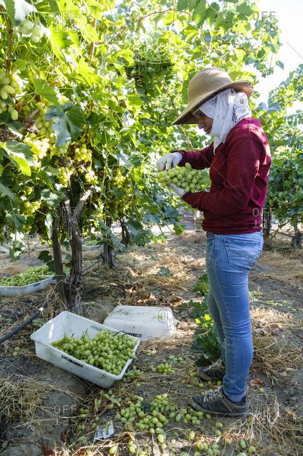 Bakersfield, California, USA - August 15, 2014: Woman harvesting grapes at a vineyard