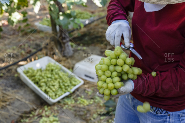 Person holding a bunch of freshly harvested grapes at a vineyard in Bakersfield, California