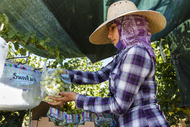 Bakersfield, California, USA - August 15, 2014: Woman packaging grapes during a harvest