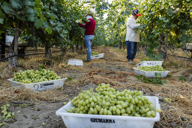 Bakersfield, California, USA - August 15, 2014: People harvesting grapes at a vineyard