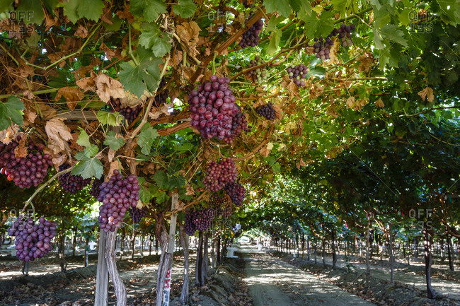 Ripe clusters of Red Globe grapes in San Joaquin Valley, California