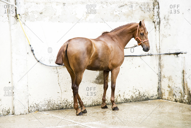 Purebred Spanish horse in front of white wall in Jerez, Spain