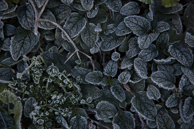 Plant leaves in the frost, Zurich, Switzerland
