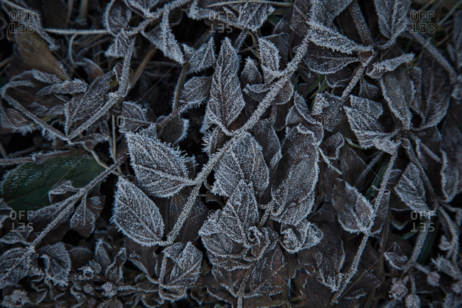 Plant leaves in frost, Zurich, Switzerland