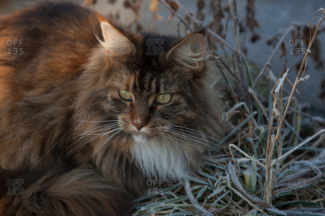 Main Coon sitting in frosty grass