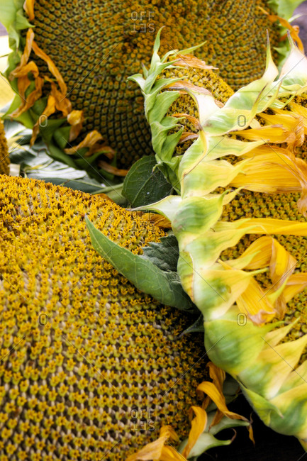 Close up of three giant sunflower heads