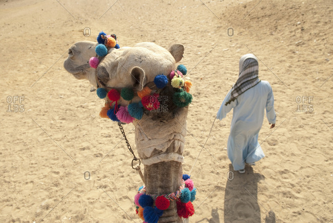 Rider's view of a man leading a camel