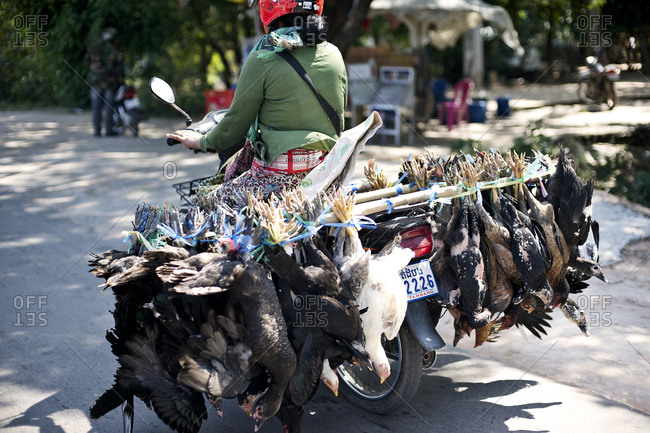 Person transporting poultry on a motorcycle