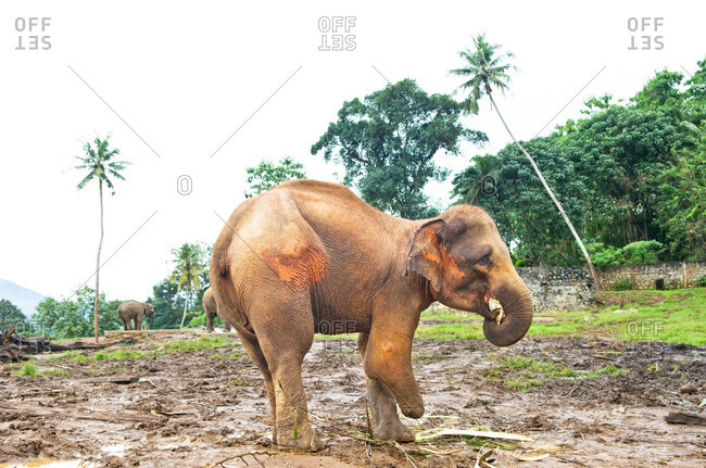 Elephant with three legs standing on muddy ground in an elephant sanctuary
