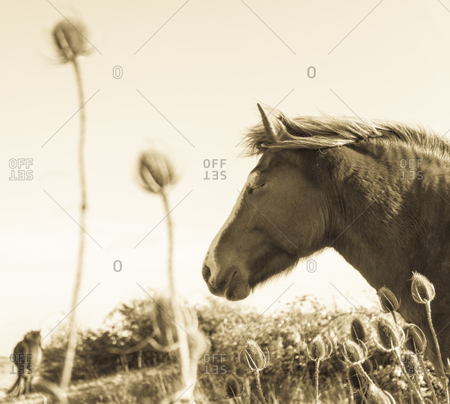 A horse sleeps peacefully while standing in thistles