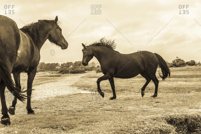 Pair of horses playing in a field