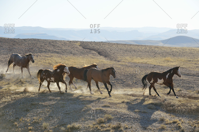 Five wild horses running in badlands