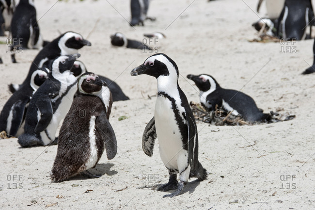 Colony of African Penguins (Spheniscus demersus) on beach, Boulders Beach, Cape Town, Western Cape Province, South Africa