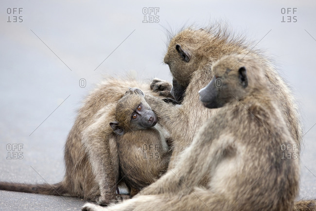 Family of baboons sitting together, South Africa