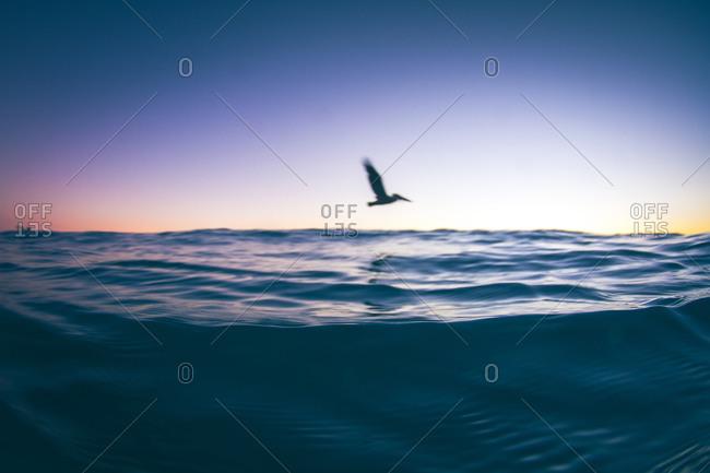 A pelican flies over the ocean