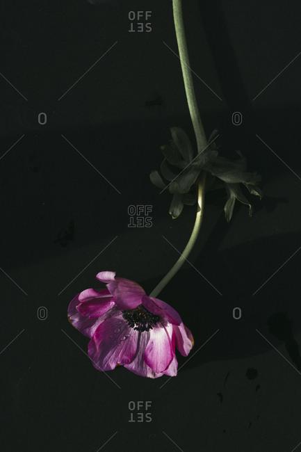 Single pink anemone flower on black