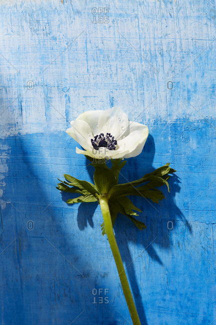 Single white anemone flower on a blue painted background