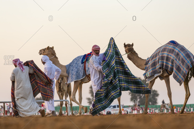 Dubai, United Arab Emirates - December 4, 2014: Blankets being put on camels at race course