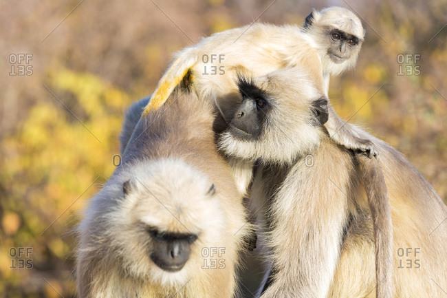 Grey Hanuman Langur monkeys in Jaipur, Rajasthan, India