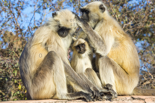 Grey Hanuman Langur monkeys grooming each other in Jaipur, Rajasthan, India
