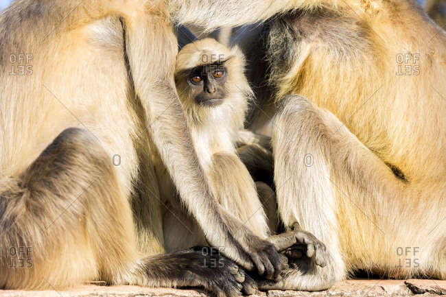 Offspring of Grey Hanuman Langur monkeys in Jaipur, Rajasthan, India