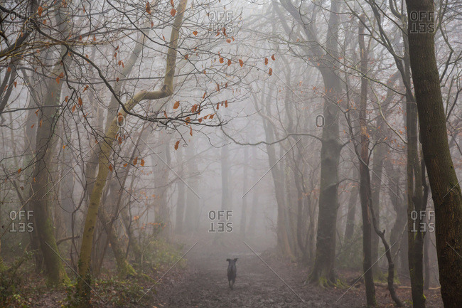 Dog running along misty path through winter woods in Gloucestershire, UK