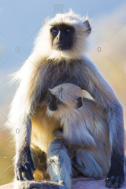 Watchful Grey Hanuman Langur monkeys in Jaipur, Rajasthan, India