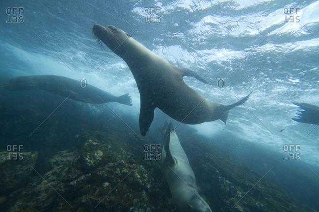 Underwater view of Galapagos Sea Lions in the Galapagos Islands, Ecuador