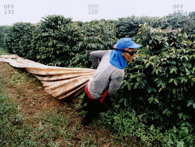 Alfenas, Minas Gerais, Sudeste, Brazil - March 4, 2008: A farmhand drags a tarp alongside some crops