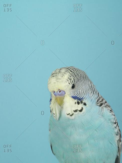 A blue parakeet