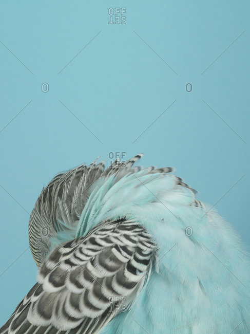 A blue parakeet with its head behind its wing
