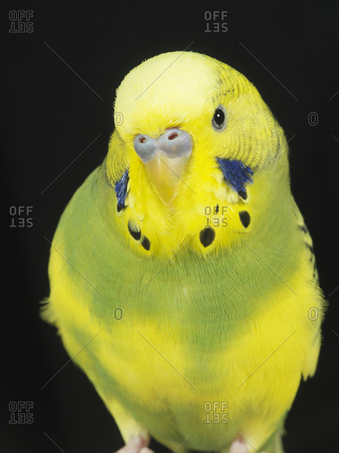 A yellow parakeet with two blue spots