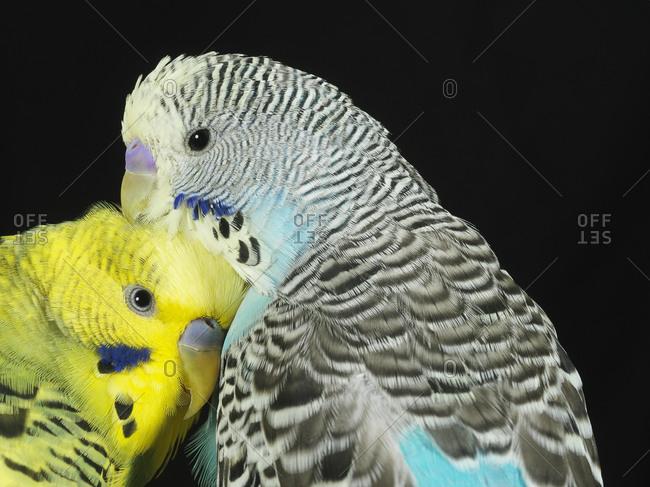 Two parakeets cuddling