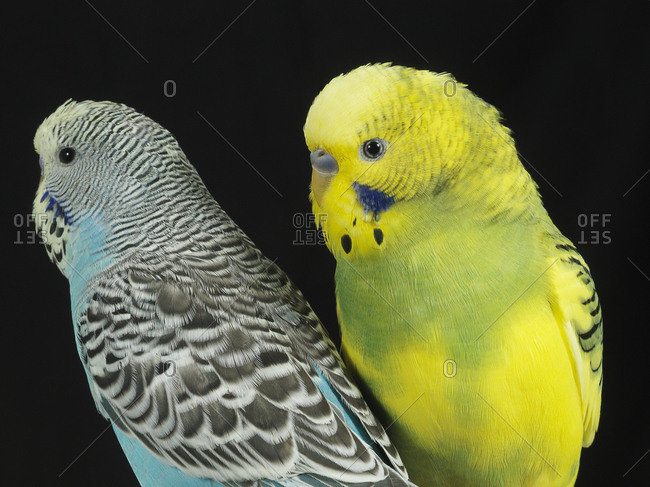 Two parakeets side-by-side