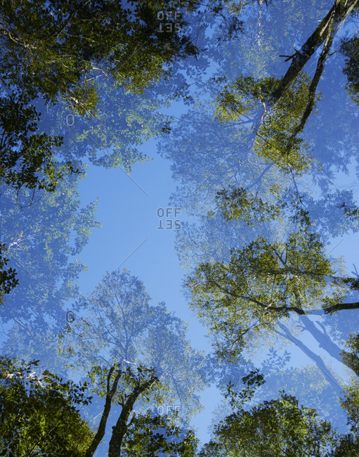 Double exposure looking upward at trees and sky