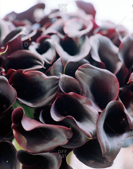 A bouquet of purple calla lilies