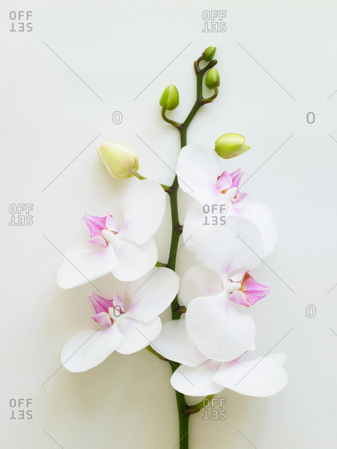 A branch of white orchids