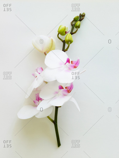 A branch containing white orchids