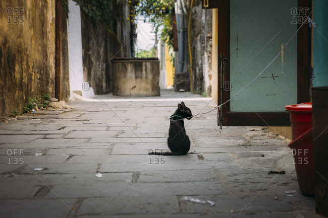 Black cat on a leash in an alley