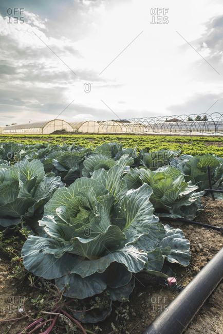 Cabbage growing on a farm