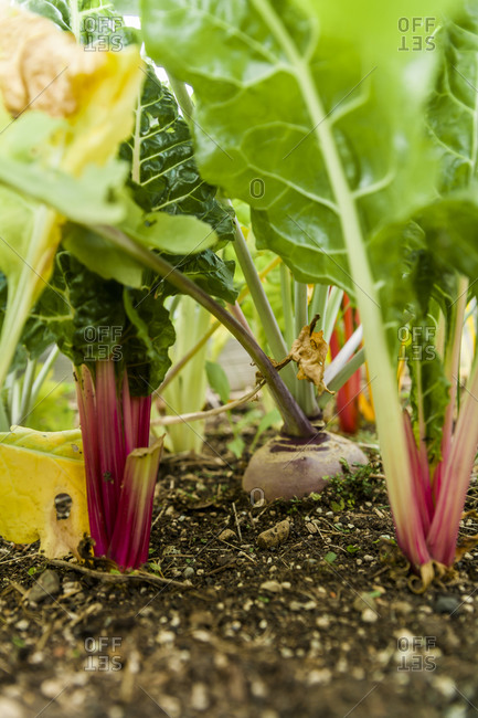 Red chard and beetroot plants