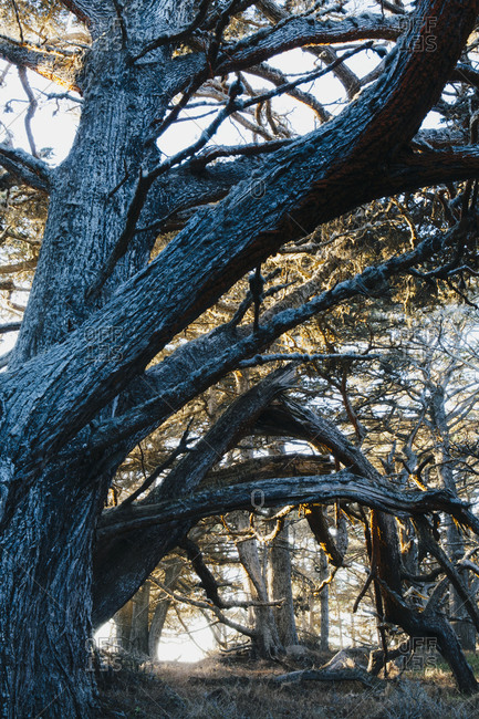 A large mature Monterey Cypress tree at dusk in Point Lobos State Reserve