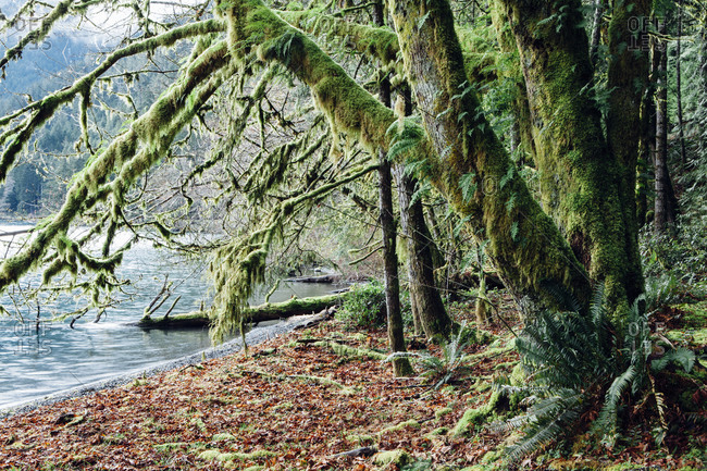 Lush temperate rainforest along the shores of Lake Crescent, mature trees with lichen covered branches reaching towards the light and the water