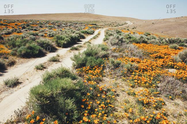 A naturalized crop of the vivid orange flowers, the California poppy, Eschscholzia californica, flowering, in the Antelope Valley California poppy reserve Papaveraceae