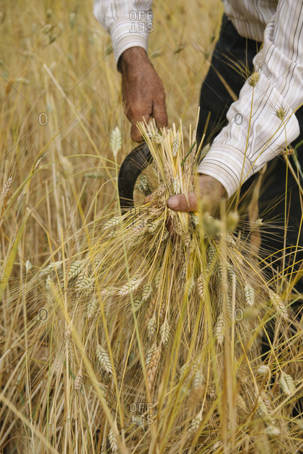 A man harvests wheat grains used to make freekeh